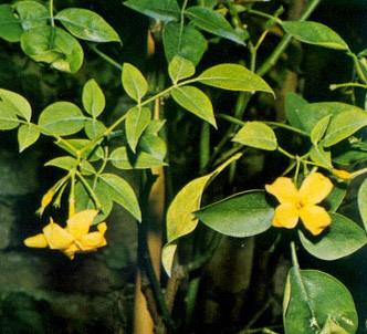 Fotografía de la planta Jazmín amarillo