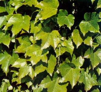 Fotografía de la planta Viña trepadora