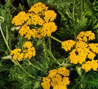 Fotografía de la planta Aquilea amarilla