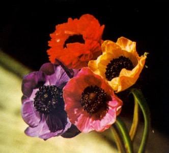 Fotografía de la planta Anémona - Coronaria