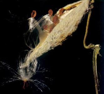 Fotografía de la planta Asclepias