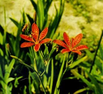 Fotografía de la planta Belamcanda