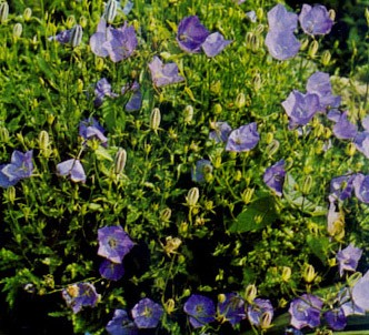 Fotografía de la planta Farolillo de los carpatos