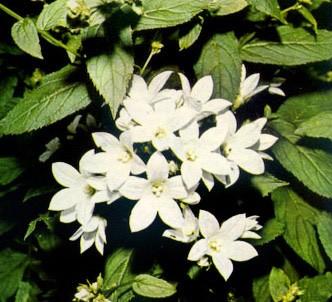 Fotografía de la planta Farolillos blancos
