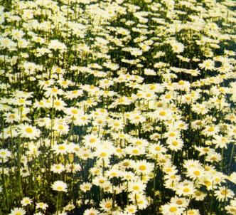 Fotografía de la planta Margarita