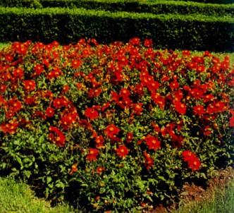 Fotografía de la planta Dalia