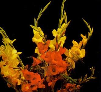 Fotografía de la planta Gladiolo