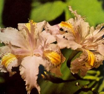 Fotografía de la planta Lirio japonés