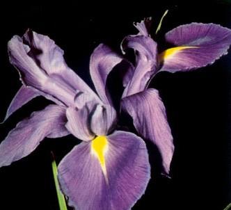 Fotografía de la planta Lirio español