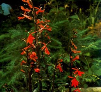 Fotografía de la planta Lobelia roja