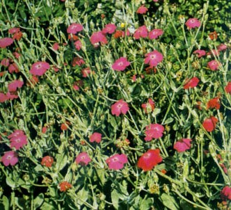 Fotografía de la planta Coronaria