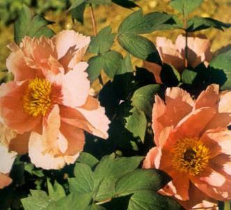 Fotografía de la planta Peonia arbustiva