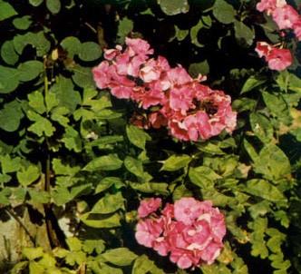 Fotografía de la planta Flox