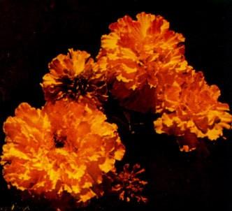 Fotografía de la planta Clavelón de la india
