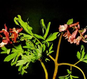 Fotografía de la planta Fumaria