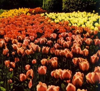 Fotografía de la planta Tulipán