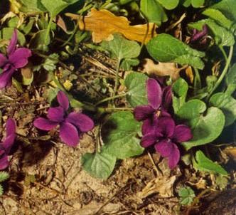 Fotografía de la planta Violeta