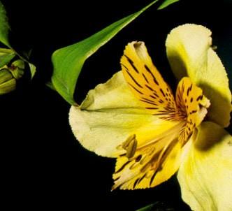 Fotografía de la planta Alstroemeria