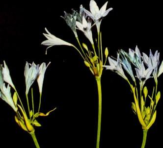 Fotografía de la planta Brodiea