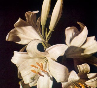 Fotografía de la planta Azucena - Lirio de san antonio