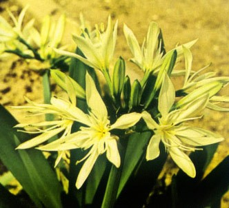 Fotografía de la planta Amormio estrellado