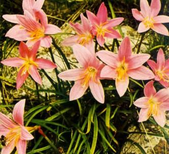 Fotografía de la planta Cefirante