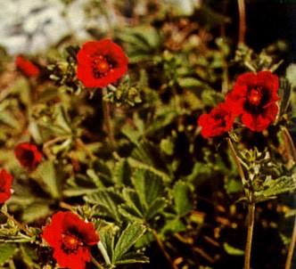 Fotografía de la planta Potentilla roja