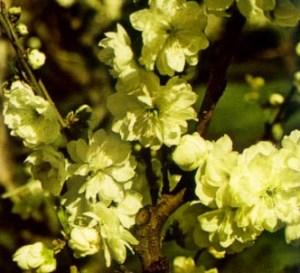 Melocotonero de flores blancas