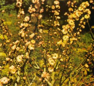 Fotografía de la planta Pruno trilobulado