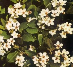 Rafiolepis