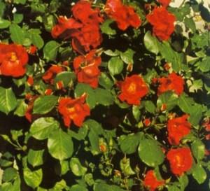 Rosa sarabanda