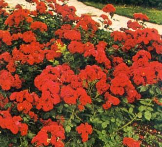 Fotografía de la planta Rosa multiflora