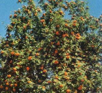 Fotografía de la planta Serbal silvestre