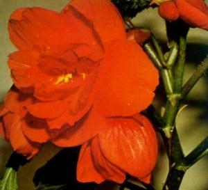 Begonia bulbosa