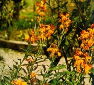 Alheli amarillo