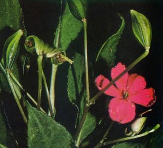 Fotografía de la planta Gliceria acuática