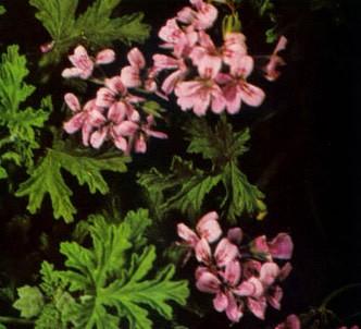 Fotografía de la planta Geranio de hojas perfumadas