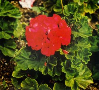 Fotografía de la planta Geranio