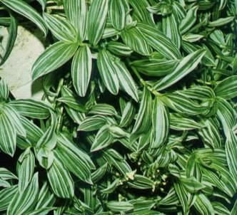 Fotografía de la planta Tradescantia manchada