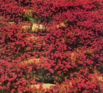Fotografía de la planta Armeria