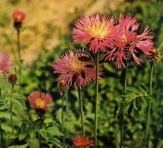 Fotografía de la planta Centaurea