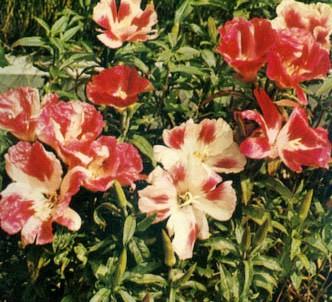Fotografía de la planta Godecia