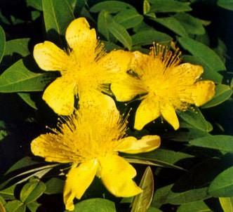 Fotografía de la planta Hipérico