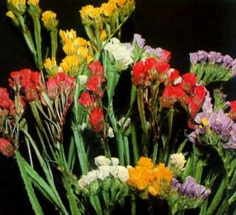Fotografía de la planta Siempreviva azul