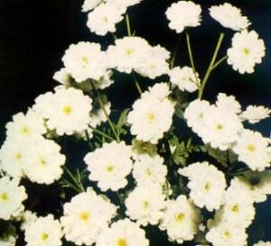 Manzanilla inodora