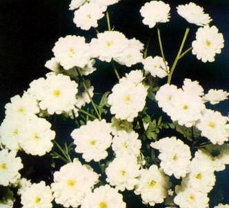 Fotografía de la planta Manzanilla inodora