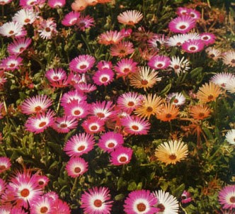 Fotografía de la planta Margarita de livingstone