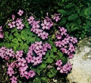 Acedera rosada