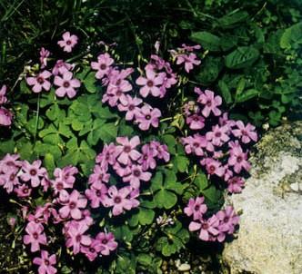 Fotografía de la planta Acedera rosada