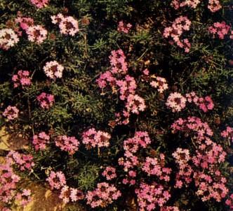 Fotografía de la planta Verbena